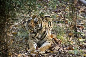 Photo of a tiger